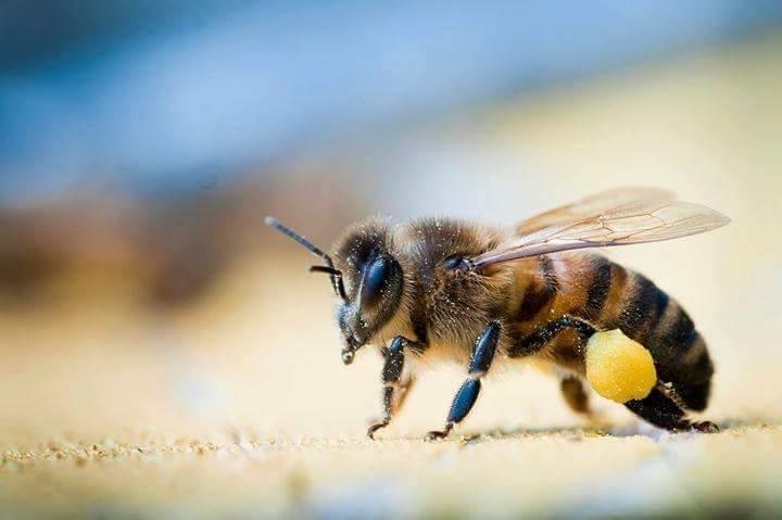 polline-api-pallina